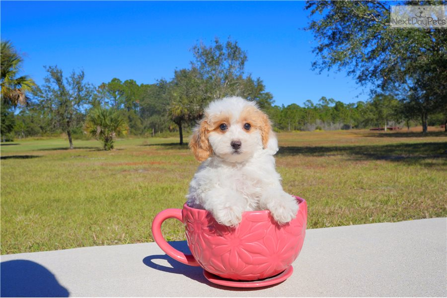 Cavapoo Dogs For Sale In Florida