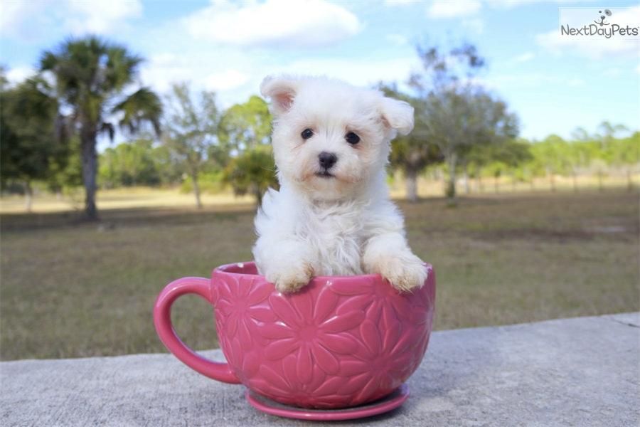 Francisco Maltese Puppy For Sale Near Sarasota Bradenton Florida