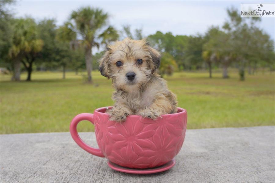 Rockefeller: Morkie / Yorktese puppy for sale near Sarasota