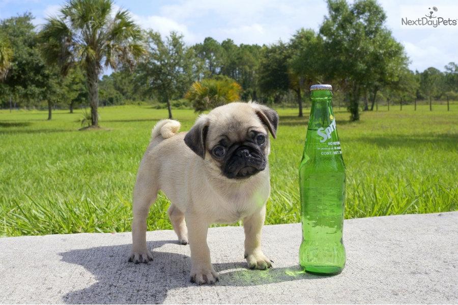 Ellen Pug Puppy For Sale Near Sarasota Bradenton Florida