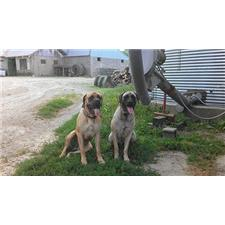 View full profile for Burke's Mastiffs And Great Danes