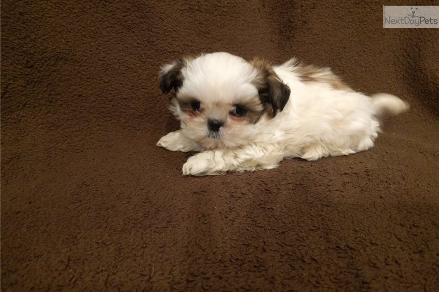 Cleo Shih Tzu Puppy For Sale Near Los Angeles California