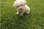 Picture of Adorable Poodle Male