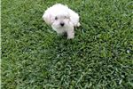 Picture of Small Poodle Male