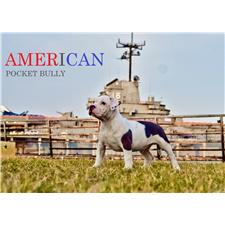 View full profile for American Pocket Bully