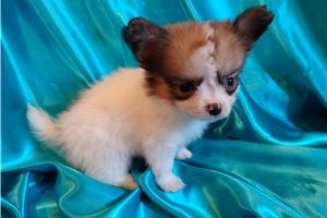 Papillons for sale