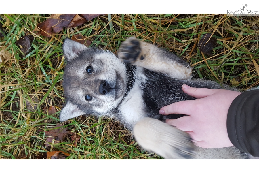 Glory : Wolf Hybrid puppy for sale near St Louis, Missouri