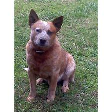 View full profile for Rainh2o Akc Australian Cattle Dogs