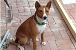 Featured Breeder of Basenjis with Puppies For Sale