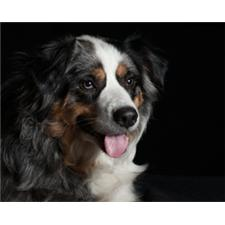 View full profile for Fine Hill Aussies
