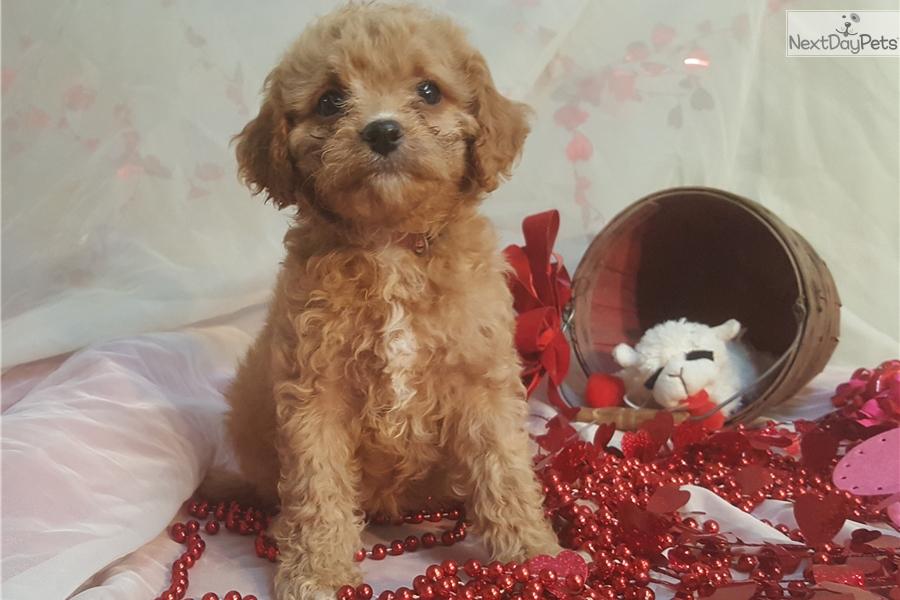 Ivy: Cavapoo puppy for sale near Minneapolis / St Paul