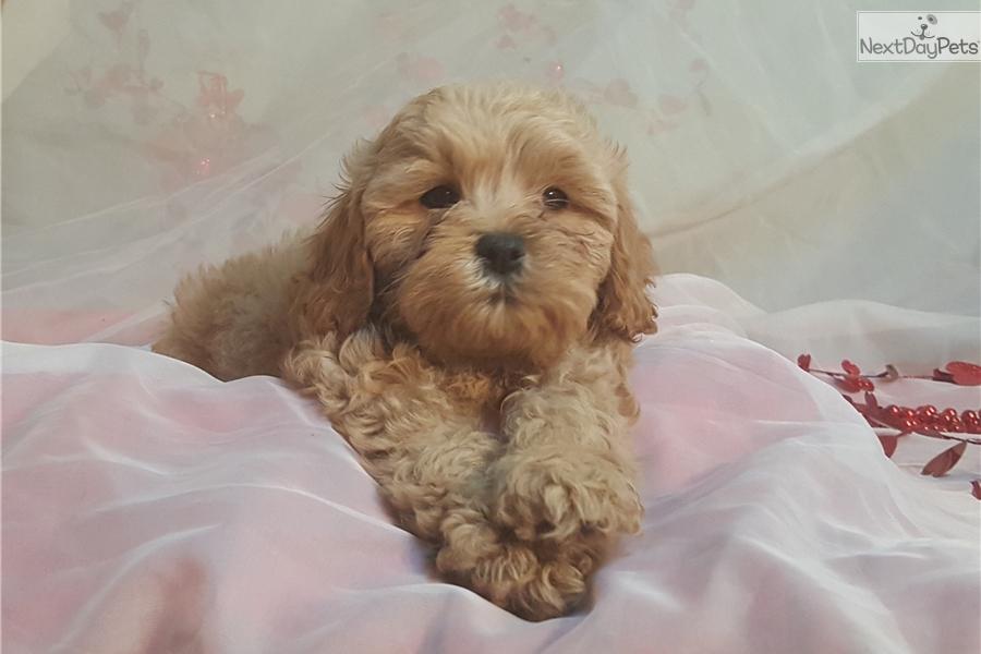 Holly: Cavapoo puppy for sale near Minneapolis / St Paul