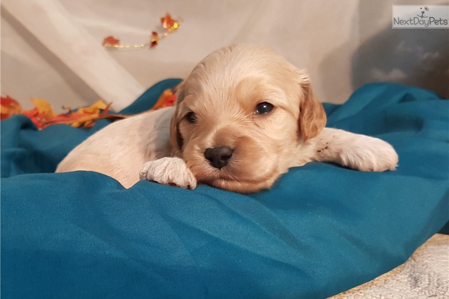 dgicdplf3pvka cloudfront net/2433981/cavapoo-puppy