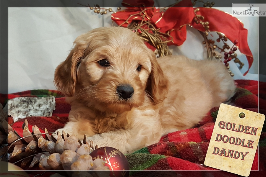 Boomer Goldendoodle Puppy For Sale Near Minneapolis St Paul