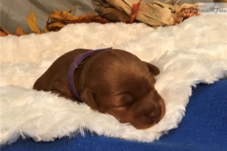 Nicoleta Goldendoodle Puppy For Sale Near Minneapolis St Paul