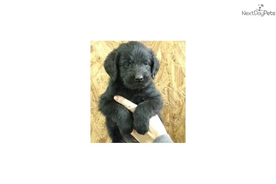 Labradoodle puppy for sale near Winston-salem, North