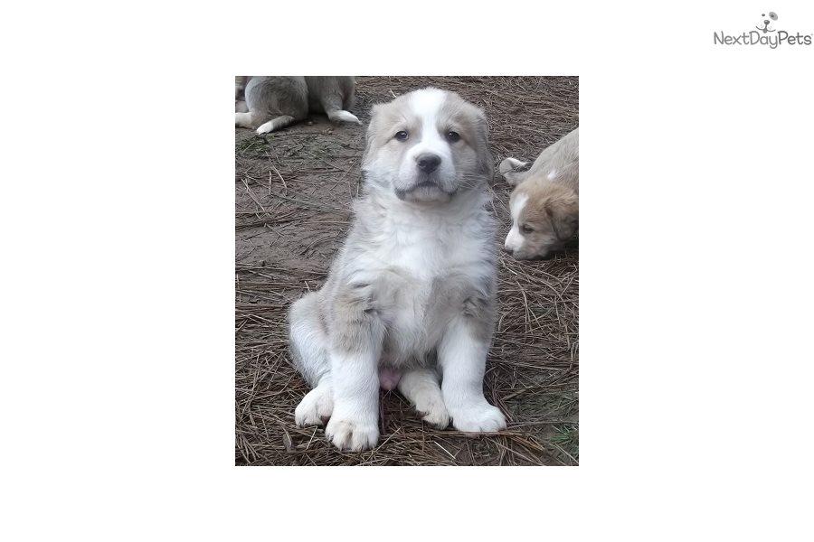 Bernese Mountain Dog Puppy For Sale Near Medford Ashland Oregon