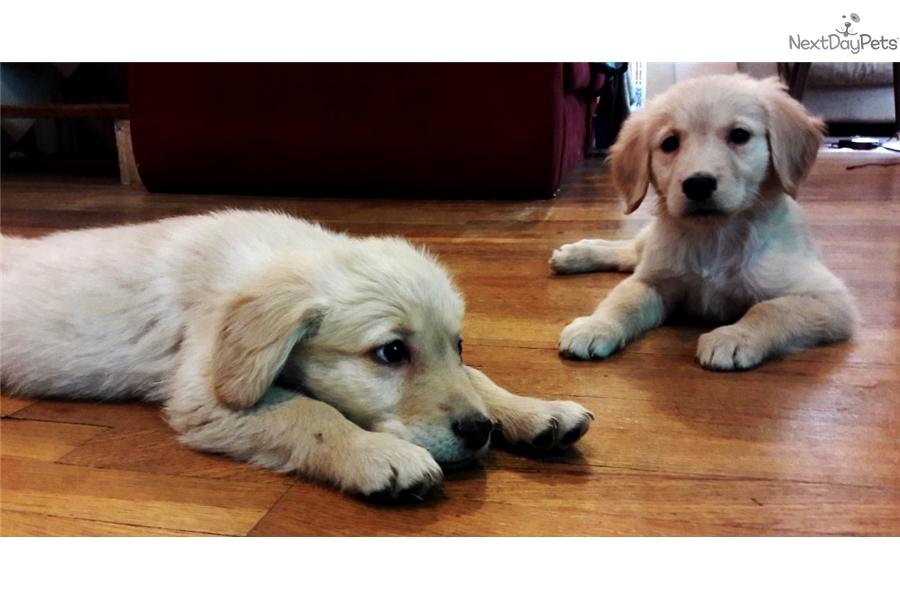 Golden Retriever Puppy For Sale Near Pueblo Colorado 6179021c 18f1