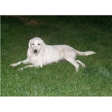 View full profile for Missouri White Labradors