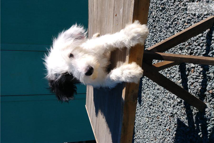Olde English Sheepdog puppy for sale near San Diego