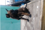 Picture of !BELGIAN MALINOIS PUPPIES!