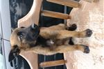 Picture of belgian malinois