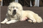 Picture of Snow Lion