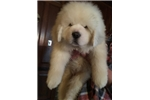 Snow Lion | Puppy at 36 weeks of age for sale