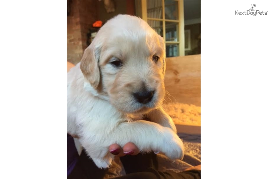 Chewy Golden Retriever Puppy For Sale Near Worcester Central Ma