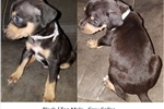 Picture of Black/Tan Grey Collar Male Catahoula Puppy