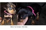 Picture of Black/Tan Pink Collar Female Catahoula Puppy