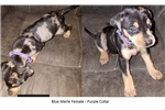 Picture of Blue Merle Purple Collar Female Catahoula Puppy