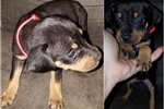 Picture of Black/Tan Red Collar Male Catahoula Puppy