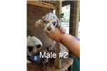 Picture of Catahoula Leopard Puppy Male #2