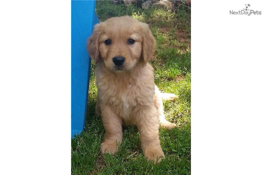 Joshua Golden Retriever Puppy For Sale Near Greenville Upstate