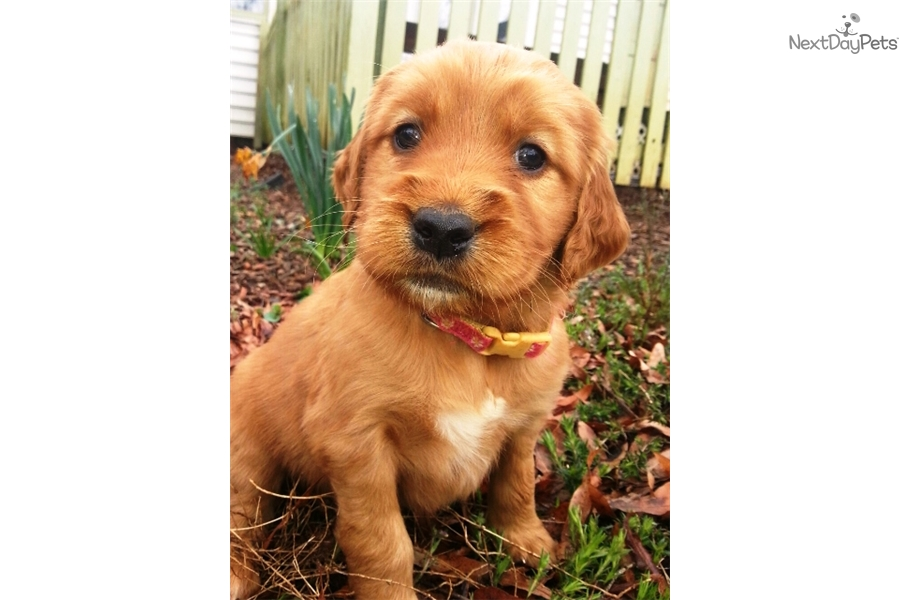 Golden Retriever puppy for sale near Greenville / Upstate