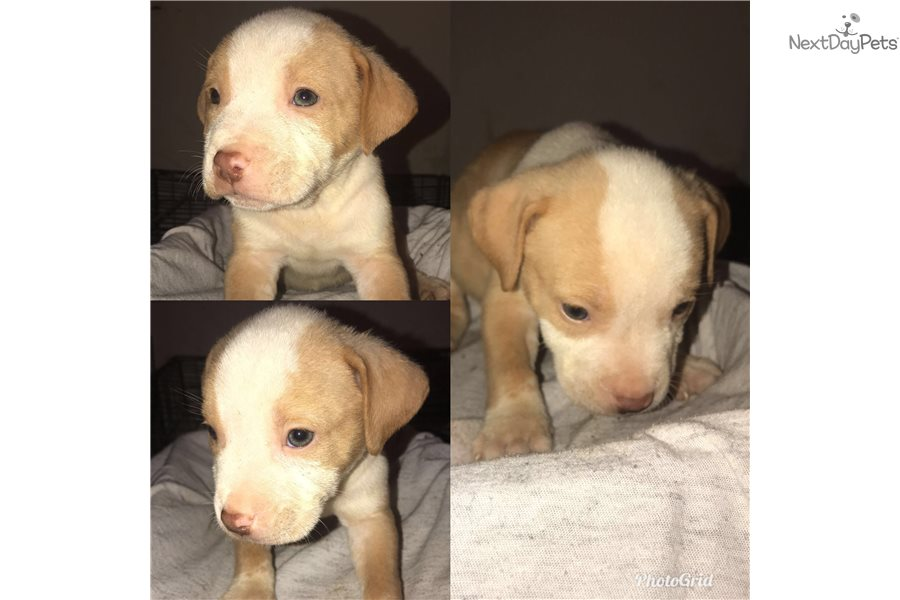 American Staffordshire Terrier puppy for sale near Cleveland