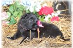 Picture of Ranch raised Black Belgian girl!