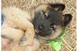 Belgian Shepherd Tervurens for sale