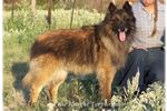 Picture of Farm raised Terv Girl, Sweet and Loyal!!!