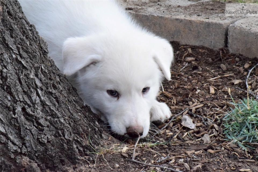 Derek Wolf Wolf Hybrid Puppy For Sale Near Denver Colorado
