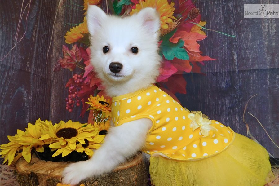 what is the best dog food for my american eskimo