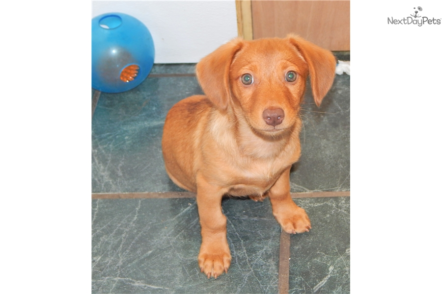Dachshund Mix Dachshund Puppy For Sale Near Chicago Illinois