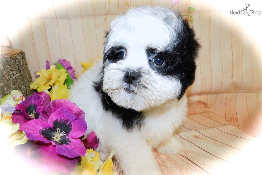 Havapoo: Havanese puppy for sale near Chicago, Illinois ...