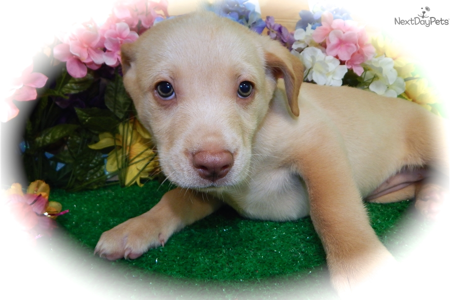 Labgolden Mix Labrador Retriever Puppy For Sale Near Chicago