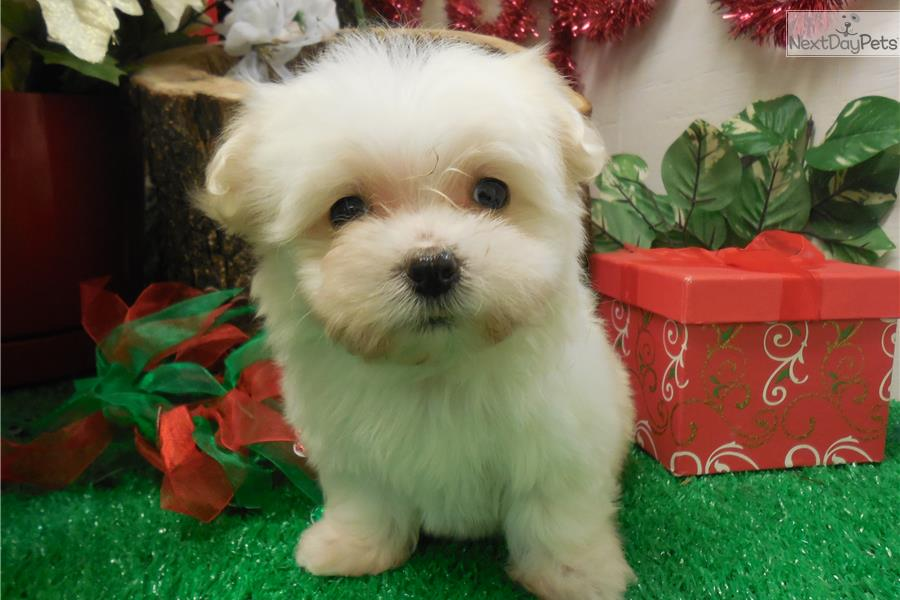 maltese puppy for sale in illinois kasper maltese puppy for sale near chicago illinois 7118