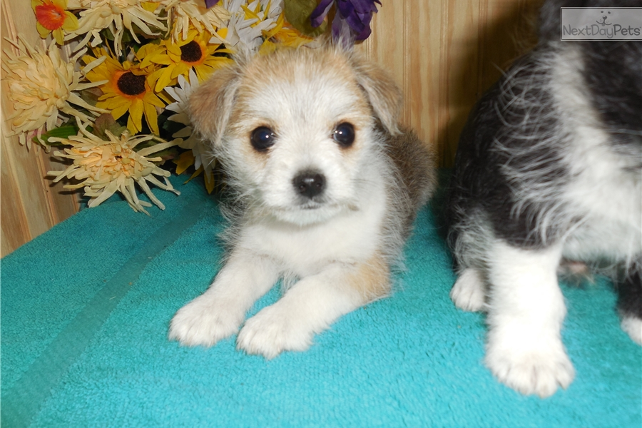 maltese puppy for sale in illinois maltese puppy for sale near chicago illinois 2278dce2 e091 8140