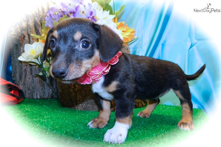Dachshund Mix Mixedother Puppy For Sale Near Chicago Illinois