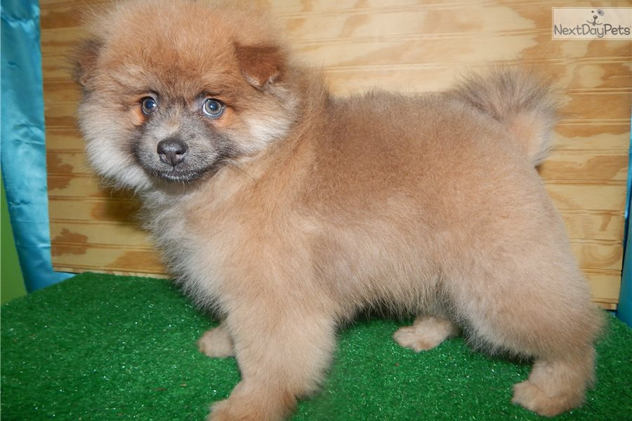 pomeranian puppy chicago pomeranian pomeranian puppy for sale near chicago 5908