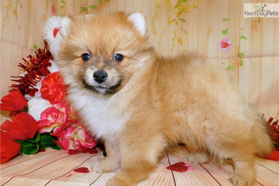 Pom Mix Pomeranian Puppy For Sale Near Chicago Illinois 0d54bfb5